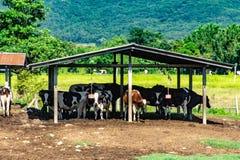 Mjölka kon i en trähydda på lantgården royaltyfria foton