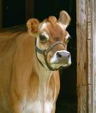 Mjölka kon i uddeBreton Arkivfoto