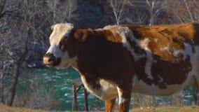 Mjölka kon på mejerilantgård jordbruksprodukter för kor för mejerinötkreatur mjölkar van vid och andra mejeriprodukter på en frod stock video