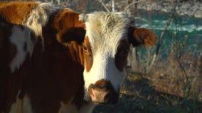 Mjölka kon på mejerilantgård jordbruksprodukter för kor för mejerinötkreatur mjölkar van vid och andra mejeriprodukter på en frod lager videofilmer
