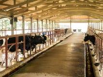 Mjölka kon som nötkreatur mjölkar in branschlantgården, Thailand arkivfoto