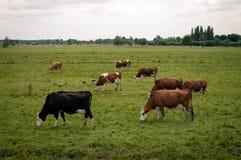 Mjölka kor betar in Arkivbilder