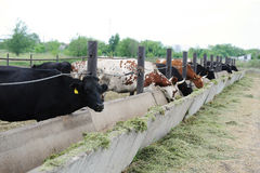 Mjölka kor på lantgård äta ensilage Fotografering för Bildbyråer