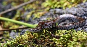 mjölka ormen Arkivfoto