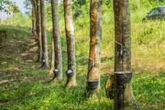Mjölkaktig latex utdragen från gummiträdet, Loei, Thailand Fotografering för Bildbyråer