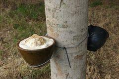 Mjölkaktig latex utdragen från gummiträdet som en källa av naturlig ru Arkivfoto