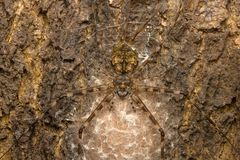 Mjölkar lång-spinnered spindlar för ¿ för orï för ½ för skällspidersï¿ två-tailed ½, Hersilia sp, Aarey kolonin, INDIEN Arkivfoton
