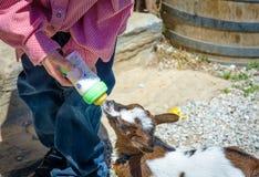 Mjölkar unga drinkar för en get från flaskan Arkivbild