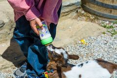 Mjölkar unga drinkar för en get från flaskan Royaltyfri Fotografi