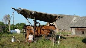 Mjölkerskan mjölkar maskinkon arkivfilmer