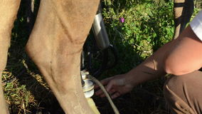 Mjölkerskan mjölkar maskinkon lager videofilmer