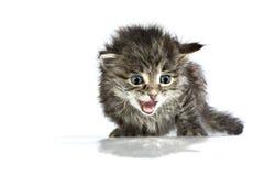 Mjaua gulliga hjälplösa två-veckor gammal kattunge Royaltyfria Bilder