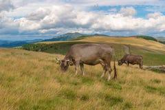 Mjölka kon på berget Fotografering för Bildbyråer