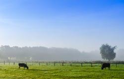 Mjölka kor på en äng Royaltyfri Foto
