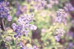 Mjuk bakgrund för fält för fokustappningSylvia blomma Royaltyfria Foton