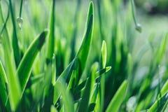 Mjuk bakgrund för grönt gräs för fokus Äng för grönt gräs i solig morgon Arkivfoto