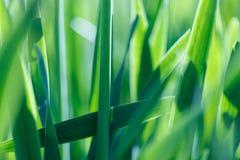 Mjuk bakgrund för grönt gräs för fokus Äng för grönt gräs i solig morgon Royaltyfri Bild