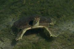 Mjuk-beskjuten sköldpadda Fotografering för Bildbyråer