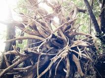 Mjuk bild som restna av rotar av träd i djungeln Arkivbild