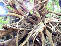 Mjuk bild som restna av rotar av träd i djungeln Royaltyfri Foto