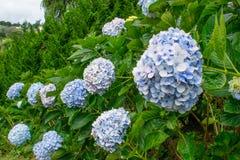 Mjuk blå vanlig hortensiarad av buskar Royaltyfri Fotografi