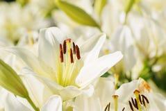 Mjuk blommacloseup för vit lilja Fotografering för Bildbyråer