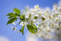 Mjuk blommande körsbärsröd frunch för vit på den trevliga våren för blå himmel Fotografering för Bildbyråer