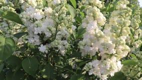 Mjuk delikat vit lila, vulgaris dubbla blommor för Syringa som är nära upp att svänga i vinden arkivfilmer