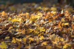 Mjuk drömlik bakgrundsbild av höstsidor 2008 leaves för leaf för dunge för torr fall för lufthöst guld- nära oaken oktober russia Royaltyfri Foto