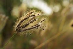 Mjuk fokus av blommanaturen för torrt gräs Arkivfoton