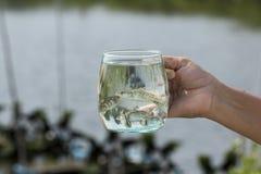 Mjuk fokus av den jätte- sittpinnen, havsbas, Bass Lates för vitt hav calcarifer i ett exponeringsglas royaltyfria bilder