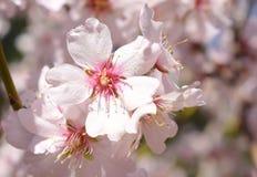 Mjuk fokus av mandelblommabakgrund blurriness Selektiv fokus fotografering för bildbyråer