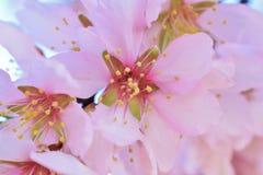 Mjuk fokus av mandelblommabakgrund blurriness Selektiv fokus royaltyfri bild