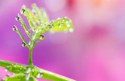 Mjuk fokus av små droppar på det gröna bladet med söt suddig rosa färgbac Fotografering för Bildbyråer