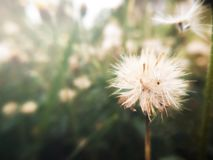 Mjuk fokus av vita gräsblommor Naturligt ljus för tappningfärgsignal royaltyfria foton