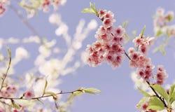 Mjuk fokus Cherry Blossom eller Sakura blomma arkivfoton