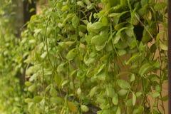 Mjuk fokus för Dischidia växt Arkivbild