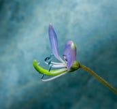 Mjuk fokus för Gaysorn blomma Royaltyfria Foton