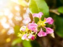 Mjuk fokus f?r val p? det gula pollenet av h?rliga rosa blommor Rosa blommor med bakgrund f?r bokehnaturljus arkivfoton