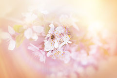 Mjuk fokus på körsbärsrött blomstra Fotografering för Bildbyråer