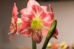 Mjuk fokusbild av rosa amarylisblommor för full blom arkivbild