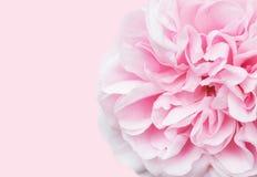 Mjuk fokusrosa färgros med utrymme för text royaltyfri foto
