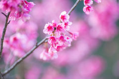 Mjuk fokusSakura blomma Arkivfoto