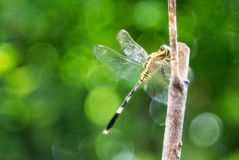 Mjuk grönaktig bakgrund för drakefluga arkivfoto