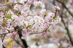 Mjuk körsbärsröd blomning på filial Royaltyfri Fotografi