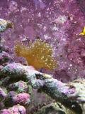 Mjuk korall Fotografering för Bildbyråer