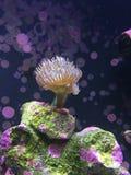 Mjuk korall Arkivbild
