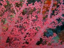 Mjuk korall Royaltyfria Foton