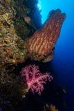 Mjuk korall- och trummasvamp i moyoön Royaltyfri Bild