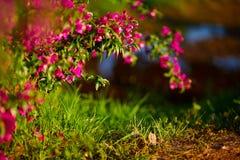 Mjuk rosa Antigonon leptopusblomma och bekant som den mexicanska ranka- eller för korallvinranka eller bibusken på bokeh- och lju arkivfoto